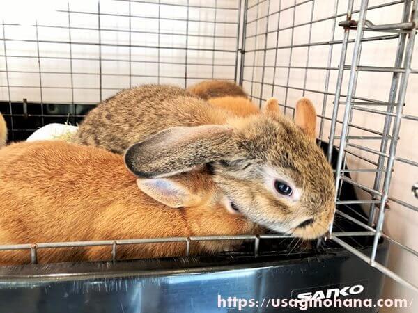 フェレットとうさぎのお店「+Ferret-Link&+Rabbit-Link(フェレット・リンク&ラビット・リンク) 」のうさぎ