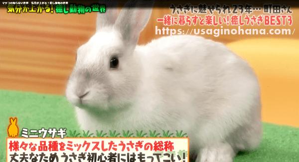 うさぎ(ミニウサギ)の魅力
